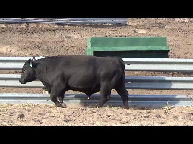 Connealy Angus Lot 210