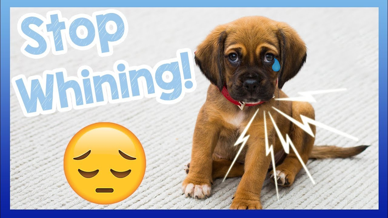 How To Stop Your Dog From Whining Tips For How To Get Your Dog To
