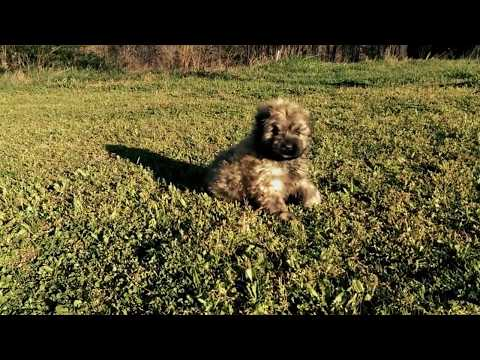 A Cute Early Morning Bouvier Des Flandres Puppy