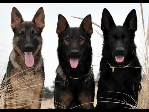 all black german shepherd