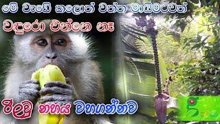 100% සාර්ථකයි. වගාවට රිලවු වදුරො නිසා හිසරදයක්ද ? how to prevent monkeys from destroying crops