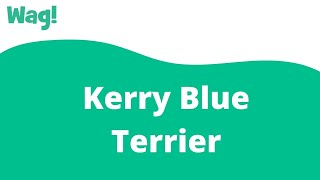 Kerry Blue Terrier | Wag!