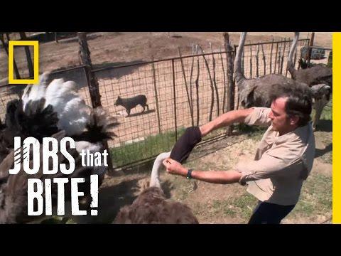 Wrestling an Ostrich  Jobs That Bite