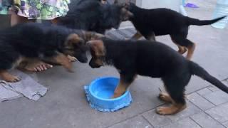 Жадины! Greedy! Щенки Немецкой овчарки. Puppies. German Shepherd.
