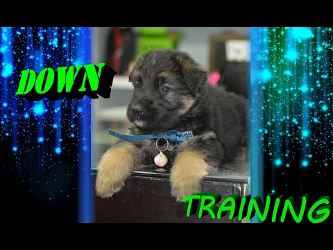 How to Teach Your Dog to Lie Down | Dog Training in english | Smart Dogs Training 2017