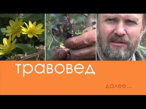 видео: Травовед. Чистотел. Рассказывает Моряков Сергей Викторович