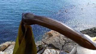 방울미역 :  예전에 살던 동네의 바닷가에서 방울미역(…