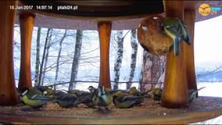 Sikorki bogatki w karmniku dla ptaków na Wyspie na Jeziorze Solińskim