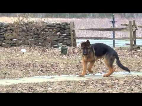 Voici zak 4 mois le chien d 39 un client premier chiots de - Couper les griffes d un chiot ...