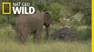 Do Elephants Grieve? New Video Suggests They Do | Nat Geo Wild
