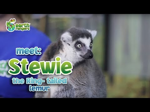 Meet Animal Ambassador Stewie the Ring-Tailed Lemur