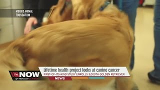 First-of-its-kind 'golden Retriever Lifetime Study' Enrolls 3,000th Golden Retriever To Study Cancer