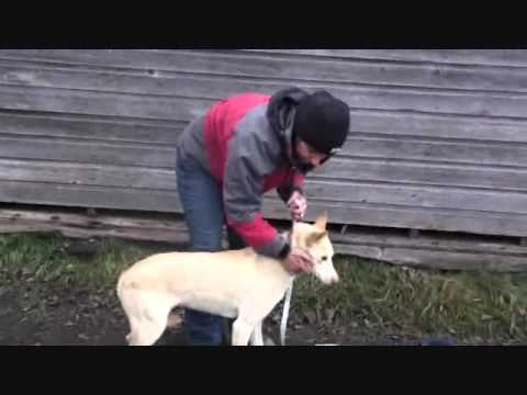 How To Measure For A CanaDog Sleddog Harness