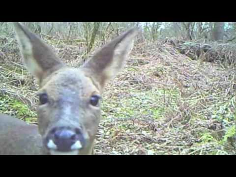 Woodland Wildlife - camera trap compilation