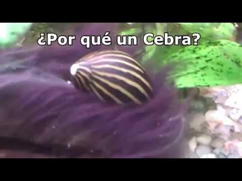 Caracol cebra come algas d nde comprarlos online en for Caracoles de jardin que comen