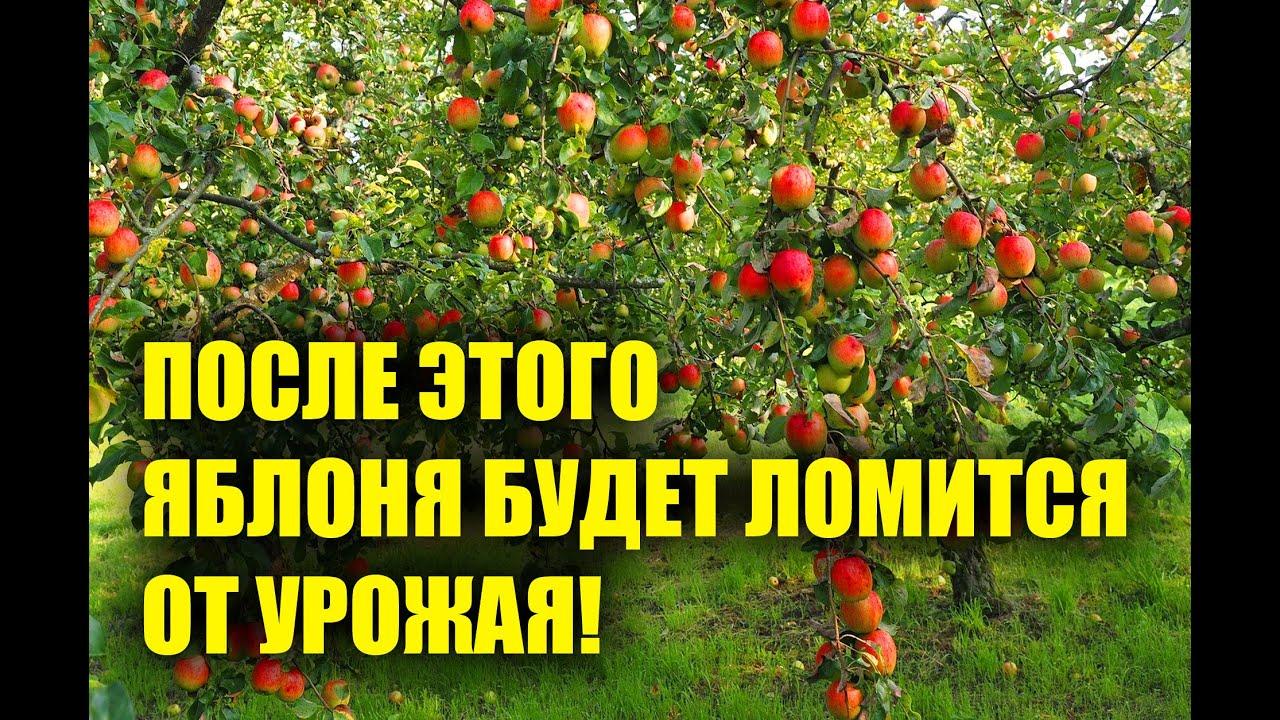 Подливаю это под яблони, и они ломятся от урожая! Супер подкормка яблони!