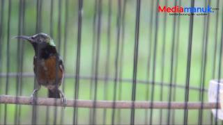 Video Kolibri Gacor Bongkar Isian JANGKRIK BOSS !!! dan Tips Perawatannya download MP3, 3GP, MP4, WEBM, AVI, FLV Juni 2018