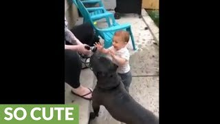 American Bully and baby play with water hose