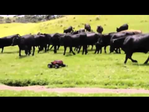 Cows chasing a RC car around a field (Yakety Sax)