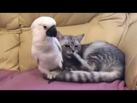 Cockatoo helps cat with grooming duties