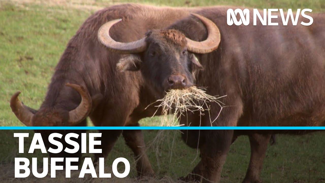 At just 3 years old,  weighing 800kg, water buffalo have found their home in Tasmania | ABC News