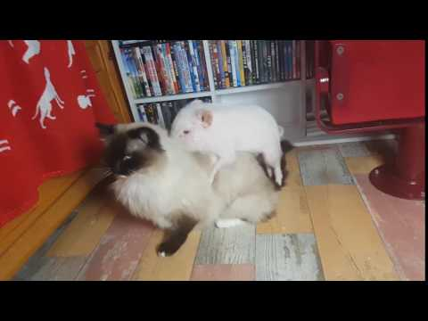 I wanna SEX You up // Piglet Paul & Ragdoll Cat Leonardo have a private time