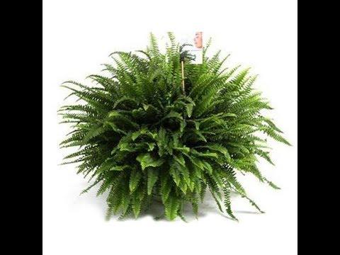 Посадка папоротника. Planting a fern. Nephrolipsis Green Lady