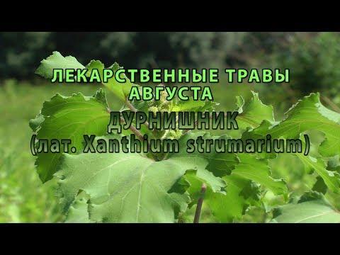 """Лекарственные растения августа """"Дурнишник"""""""