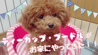 名前:める 犬種:トイ・プードル(ティーカップ) 性別:女の子♀ 誕生日:201...