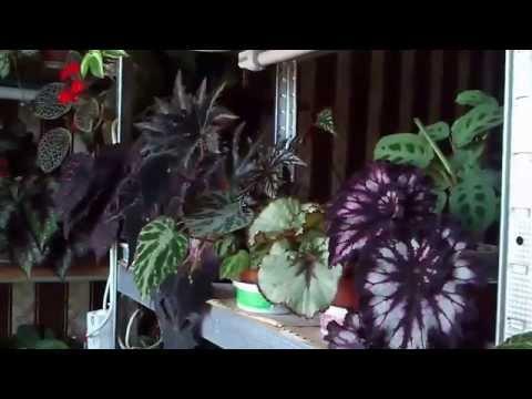 Бегония декоративно-лиственная и другие часть 2-я