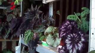 Бегония декоративно-лиственная и другие часть 2-я(Очередное видео о комнатных растениях из серии