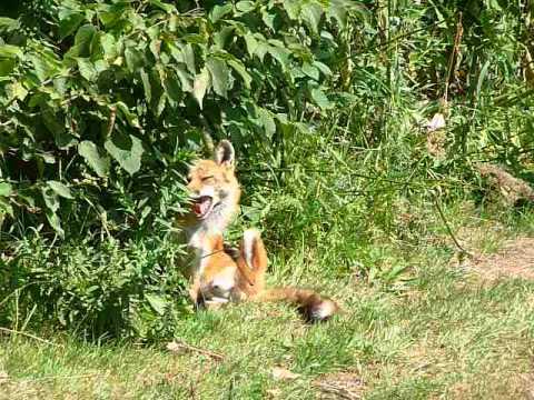 Fox in botanical gardens Montreal