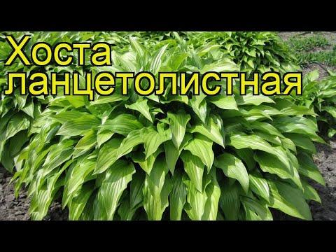 Хоста ланцетолистная. Краткий обзор, описание характеристик, где купить саженцы hosta lancifolia
