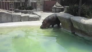 #Simulacion de #Iñaki, Zoo de Aragón (11/09/19), parte #5,  entra al agua y fin del show.
