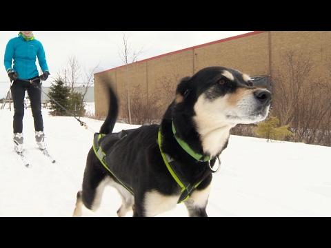 Winter sport 'skijoring' combines dogs and skiing
