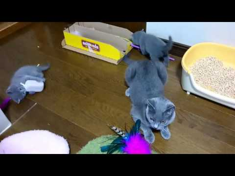20170802 Bluetreasure chartreux Kitten