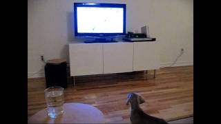 Halle Weimaraner Puppy Dog (her 1st Habs Montreal Canadiens Hockey Game)