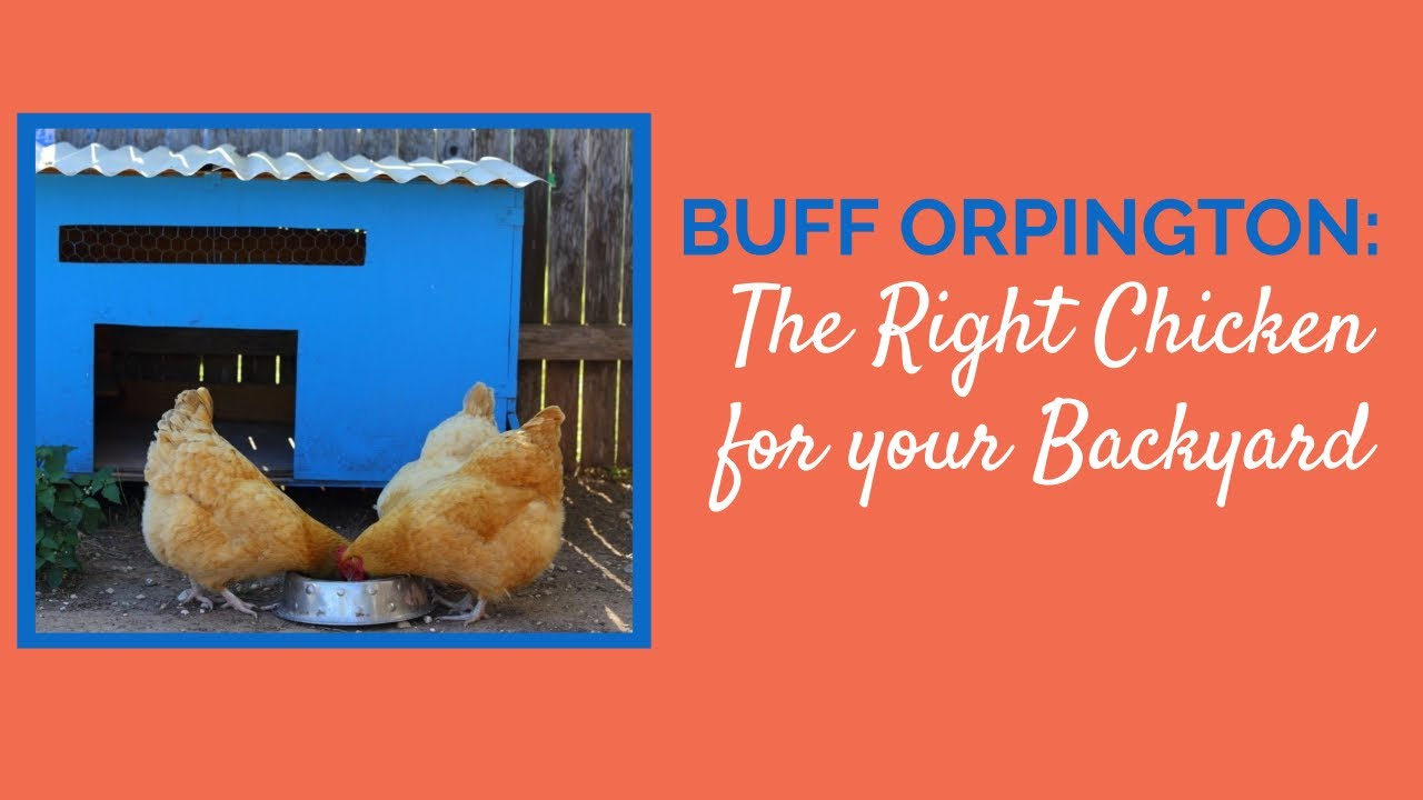 buff orpington the right chicken for your backyard youtube