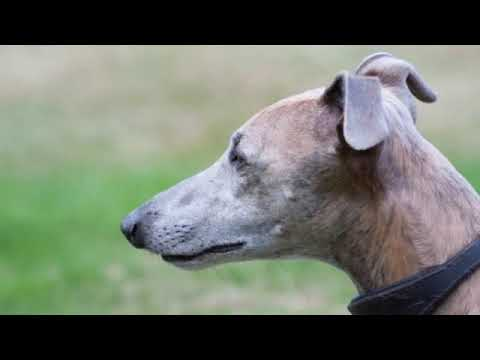 Whippet - medium size dog breed