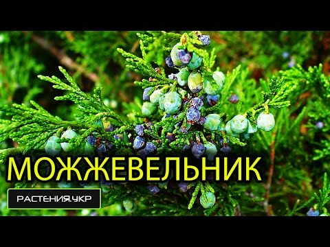 Можжевельник казацкий - Можжевельник - Хвойные растения