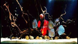 Mencari inspirasi dari bermacam - macam dekorasi bertema natural untuk aquarium ikan discus