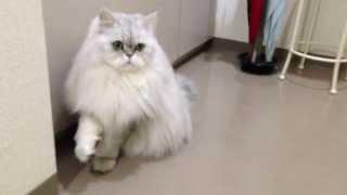 卓球するペルシャ猫☆Ping-pong CAT