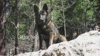 East German Ddr German Shepherds Then & Now