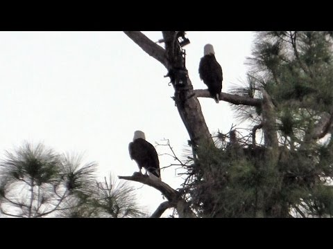 SWFL Eagles_Mutual Contentment Before The Early Flight Out~Other Pasture Sights 11-11-16
