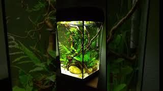 Normans Leuchtaugenfisch / Poropanchax normani