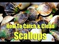How To Catch Bay Scallops & Best Way To Cook Scallops, Homosassa FL Scalloping