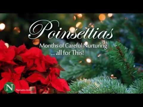 Poinsettias Ready For Christmas! ~ Watch Them Grow
