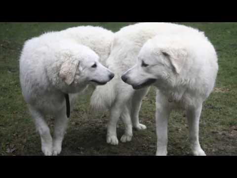 Kuvasz - giant dog breed