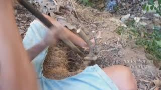 Hunting serut part 1(streblus asper), bonsai in the forest