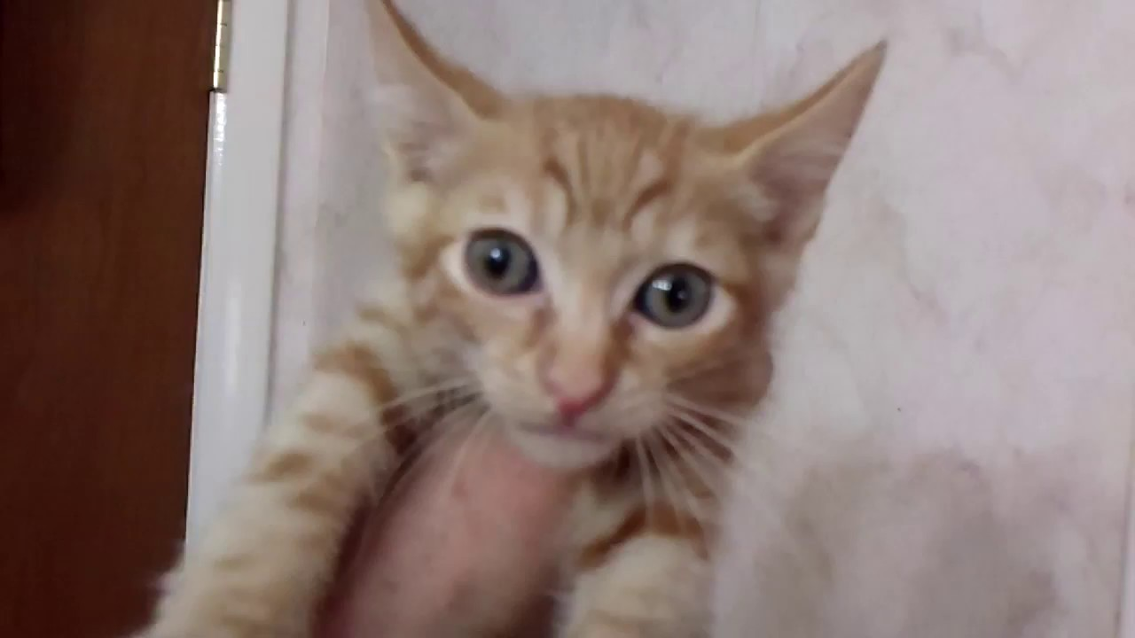 Red Spotted Tabby Japanese Bobtail Kitten born 4 18 17